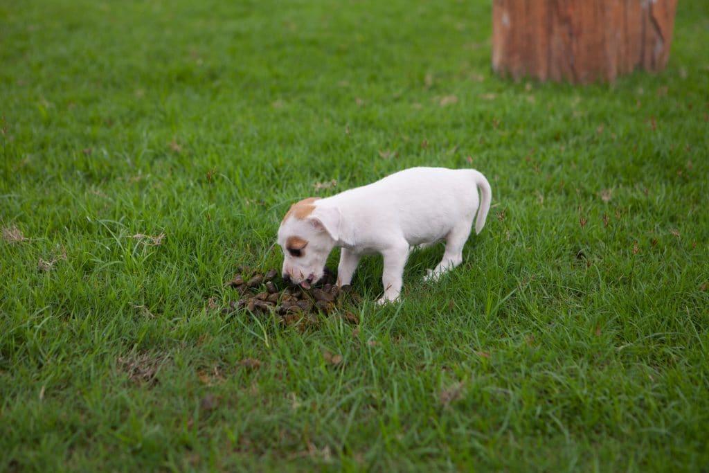 Cachorro branco de pequeno porte. Ele possui manchas beges nos olhos e na cabeça. Ele está cheirando um coco no meio do pasto.
