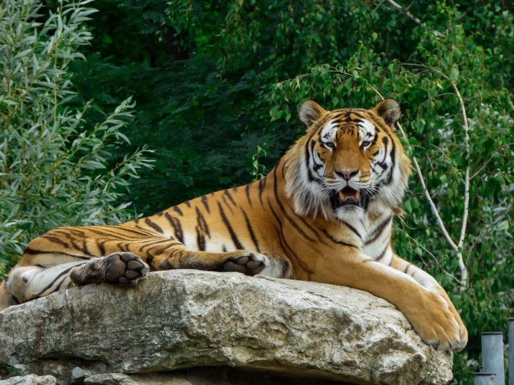 Tigre deitado sobre uma pedra em meio à mata fechada.