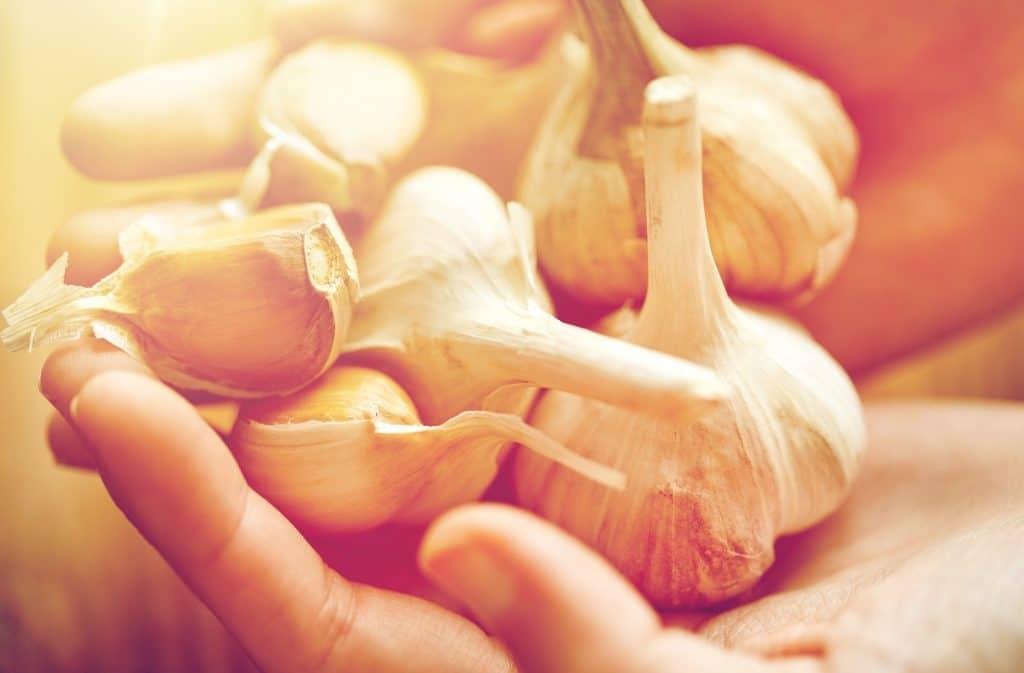 Mão feminina segurando várias cabeças e dentes de alho. Eles estão sendo separados para o preparo de um chá de alho.