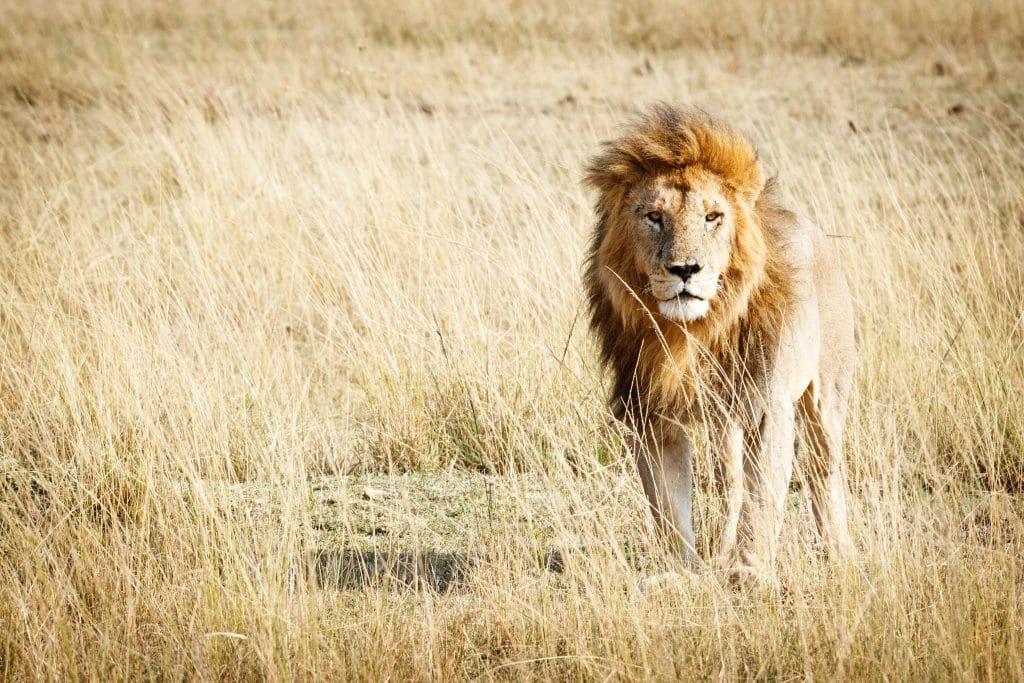 Lindo leão em pé. Ele está olhando para a câmera. Ao redor dele, uma grama seca bem alta.