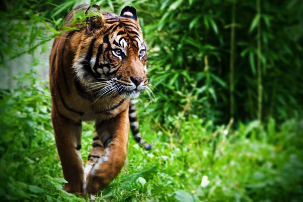Tigre andando pela mata fechada.