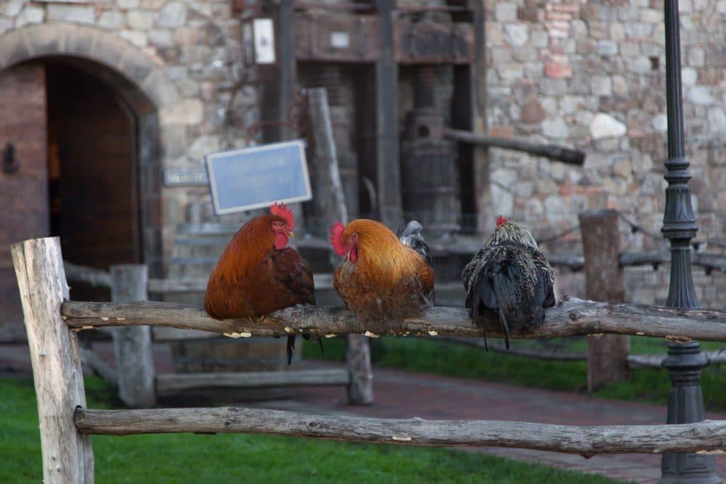 Três galinhas, sendo duas amarelas e uma preta. O trio está dormindo empuleirado em um tronco de uma árvore. Ao fundo uma casa rústica construída de pedra.