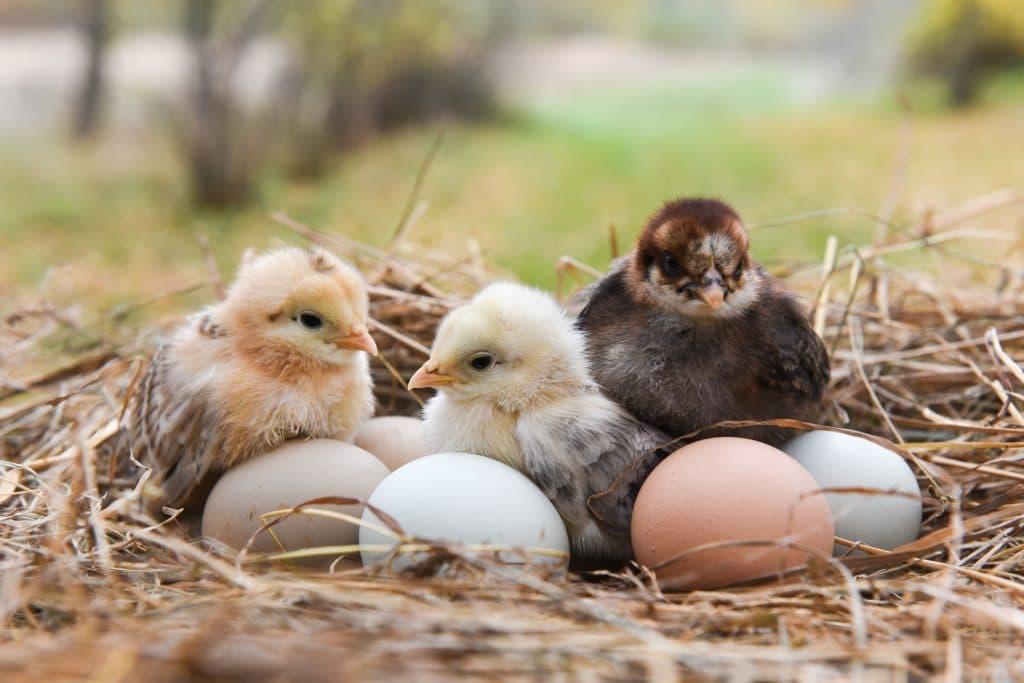 Três pintinhos, sendo um marrom e dois amarelos dentro do ninho e rodeados de outros cinco ovos,
