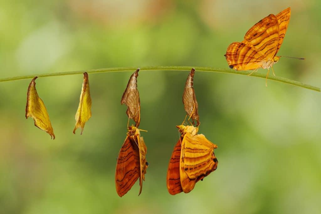 Mais um processo de transformação das larvas em borboletas. Elas nasceram e são alaranjadas.