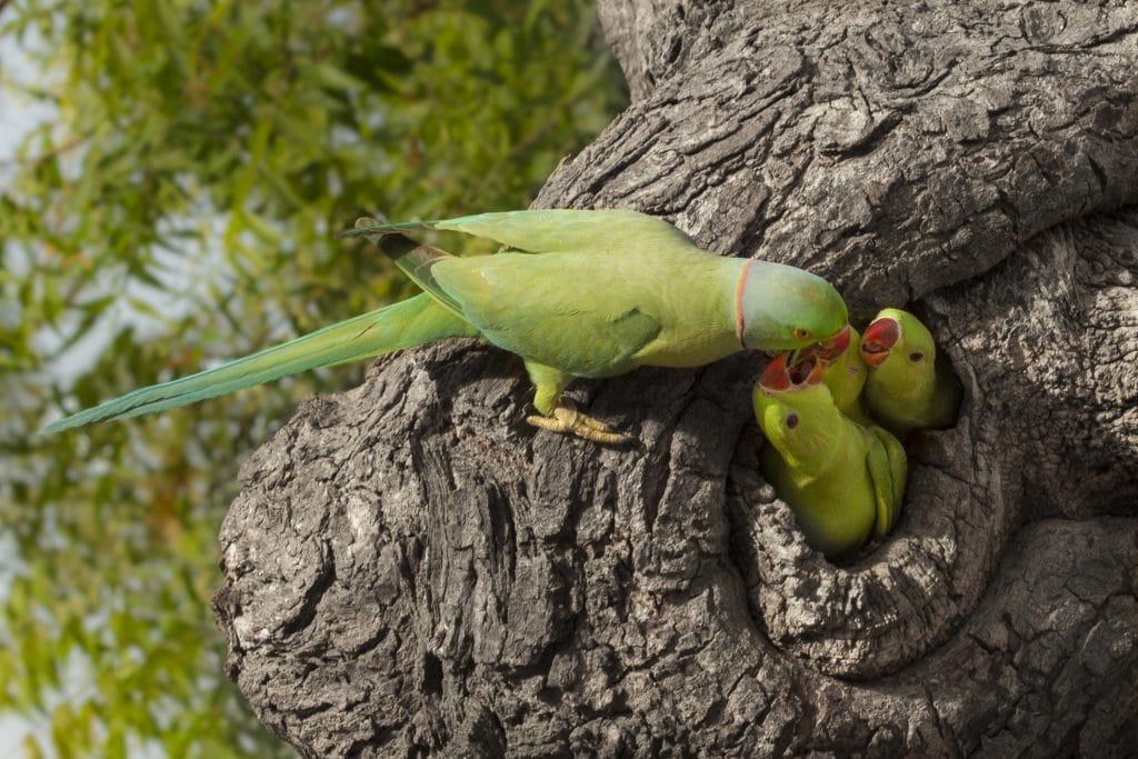 Filhotes de passarinhos em um ninho dentro de uma árvore sendo alimentados pela sua mãe. São 03 filhotes e a mãe na cor verde.