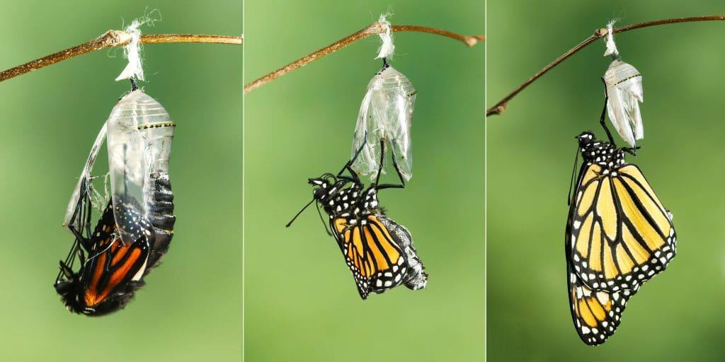 Imagem das três fazer de transformação e metamorfose da borbotela.