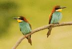 Dois pássaros coloridos em um galho