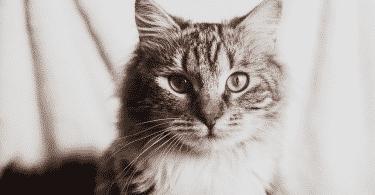 Gato cinza e branco olhando para a câmera