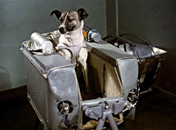 A cadela Laika dentro de compartimento, em formato de maleta, da Sputnik 2 antes de ir para o espaço.