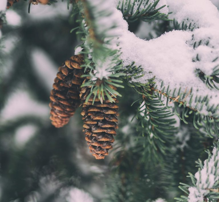 Pinheiros cobertos de neve.