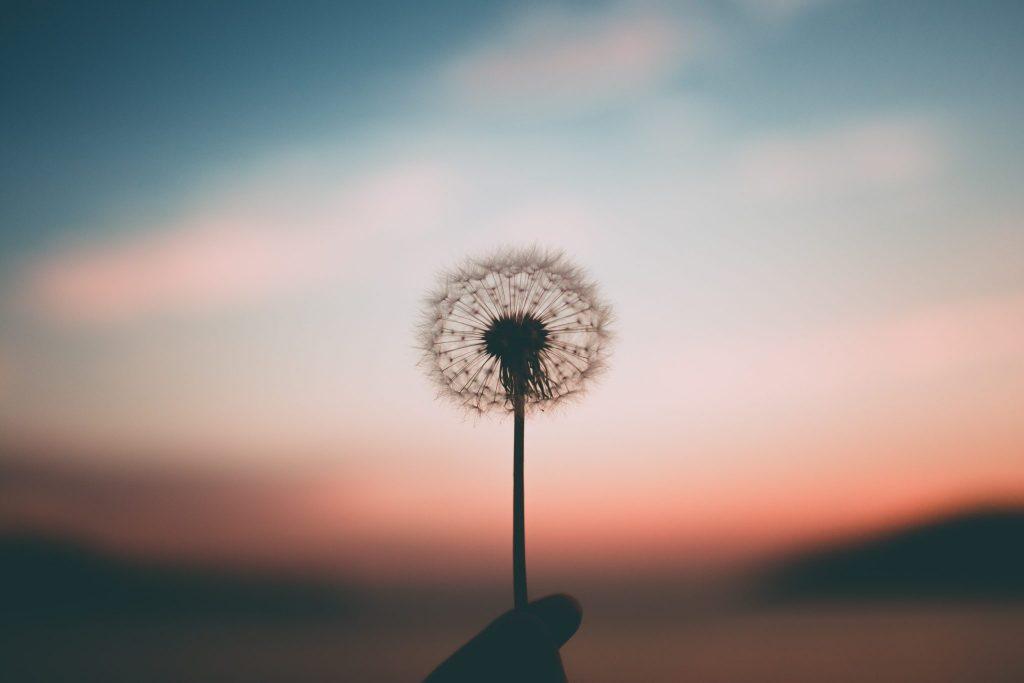 Flor dente de leão em foco com céu ao fundo em pôr-do-sol