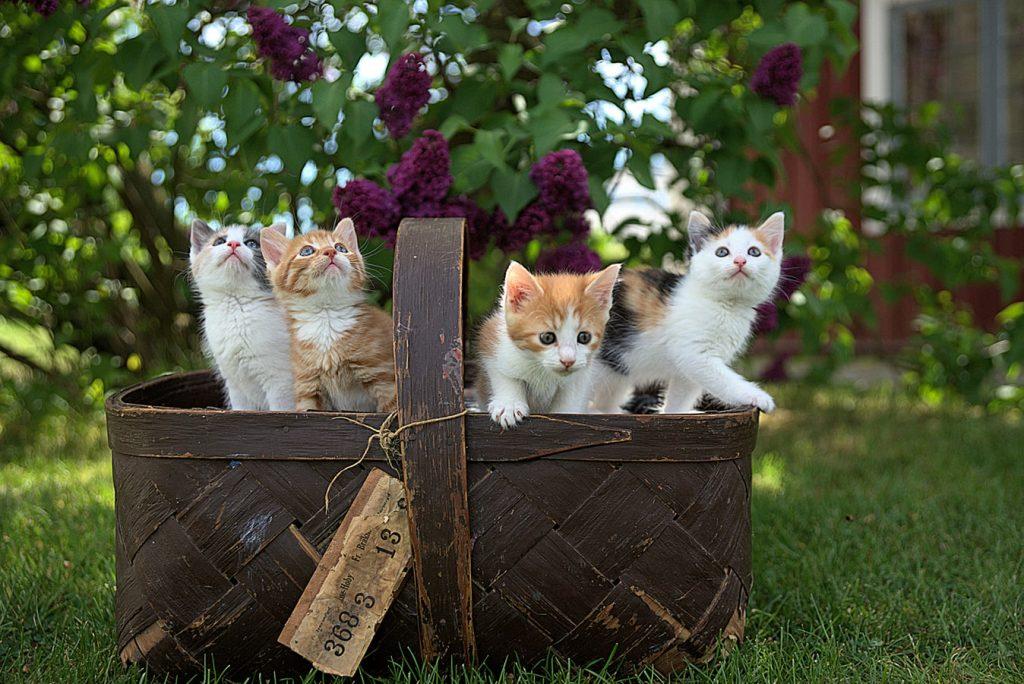 Quatro filhotes de gatos dentro de uma cesta de pique-nique.