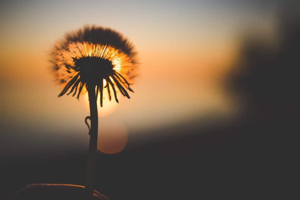 Silhueta de flor dente-de-leão com sol ao fundo