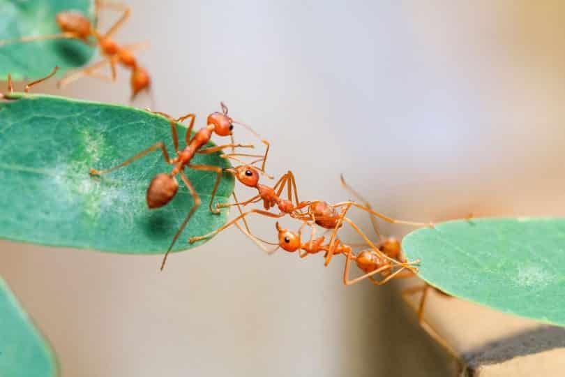 Recorte de várias formigas andando em uma planta.