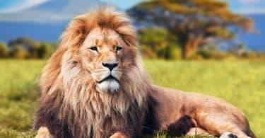 Leão descansando.