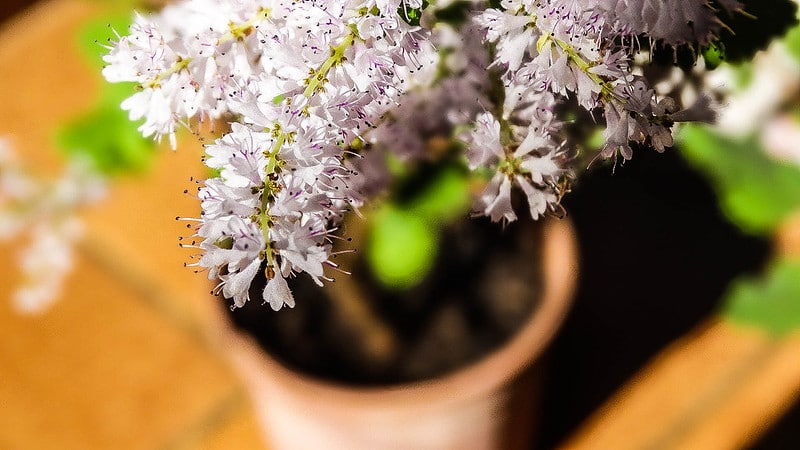 Planta mirra florida em um vaso, sob a luz do sol.