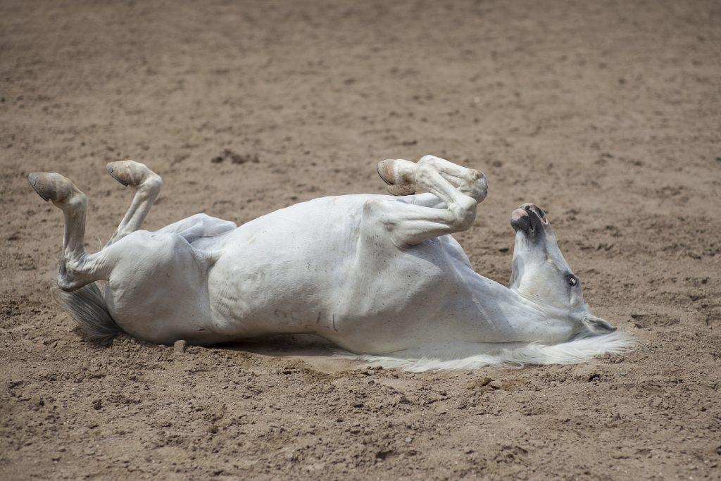 Imagem de um cavalo branco deitado com a barriga para cima em um campo arenoso.