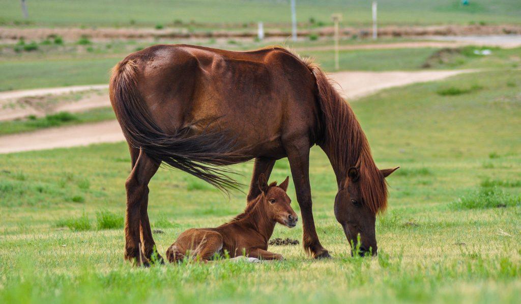 Imagem de um cavalo pastando e ao seu lado seu filhote deitado em uma grama bem verdinha.