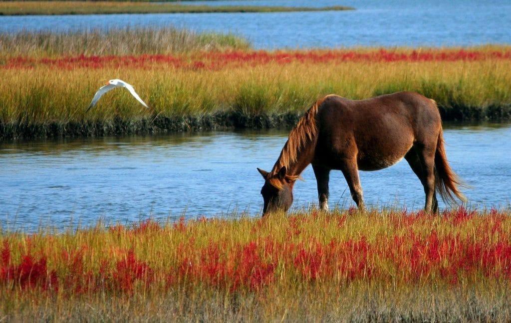 Imagem de um cavala selvagem pastando em um gramado bem verdinho ao lado de uma lagoa. Um garça sobrevoa a lagoa perto do cavalo.