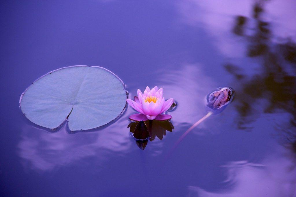 Vitória-régia e flor de lótus flutuando sobre um lago.