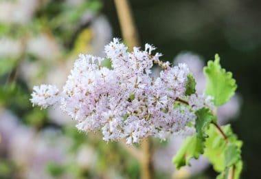 Galho de planta mirra com flores