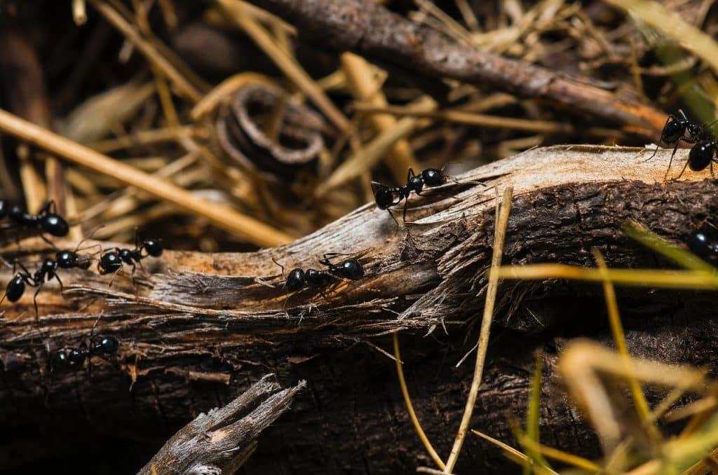 Recorte de sete formigas pretas andando em um galho de árvore