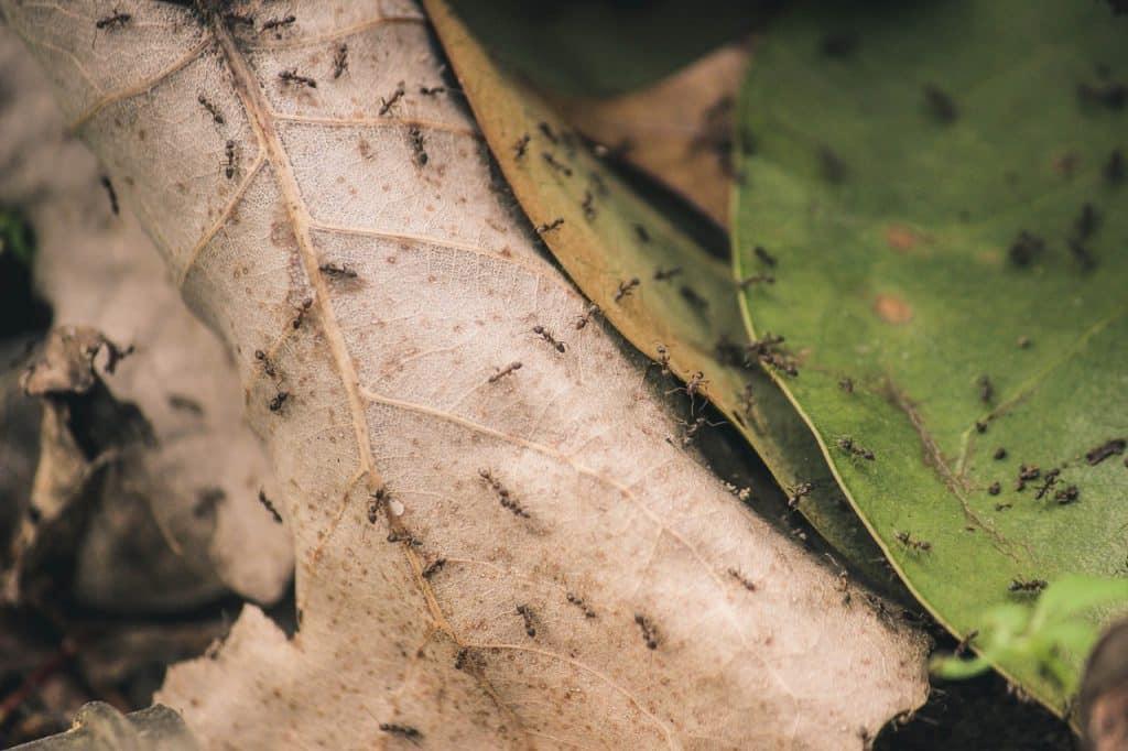 Várias formigas pretas trabalhando.