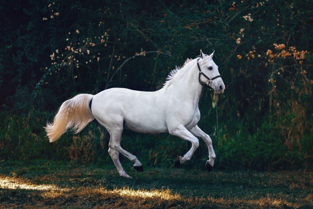 Cavalo branco galopando.