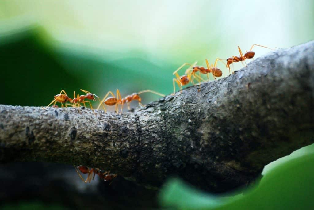 Recorte de várias formigas andando em um galho de árvore.