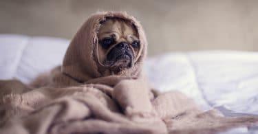Cachorrinho da raça Pug, enrolado com um cobertor marrom, apenas com o rosto descoberto.