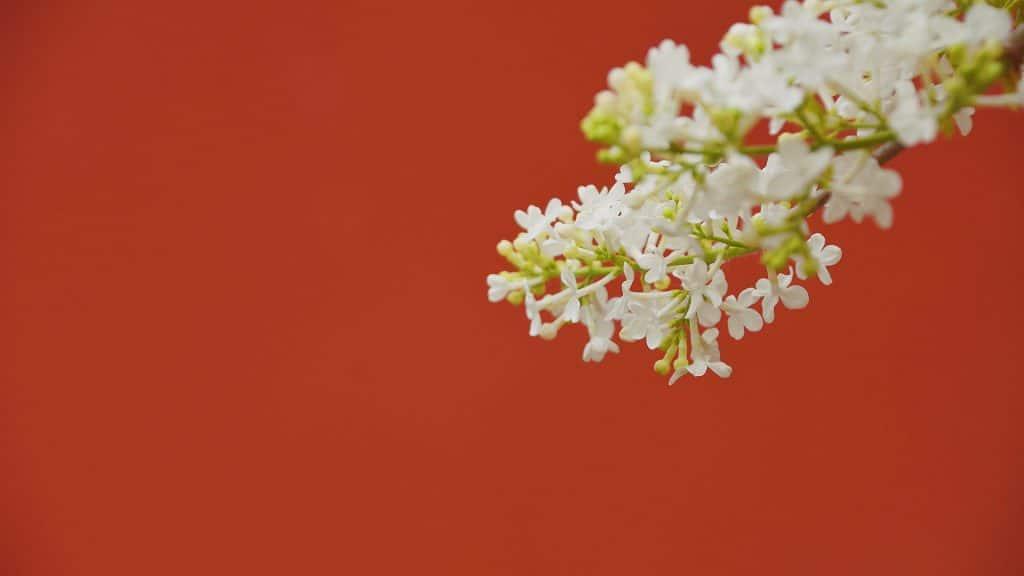 Parede pintada na cor vermelha e ao fundo um arranjo de flor branca.