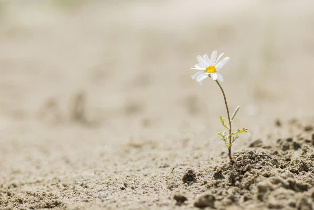 Imagem de uma margarida que brotou em um terreno arenoso.