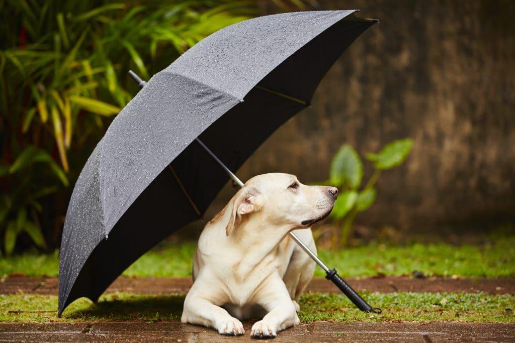 Imagem de um cachorro da raça labrador deitado sobre uma grama em baixo de um guarda-chuva na cor preta. Ele etá bem tranquilo e sossegado.