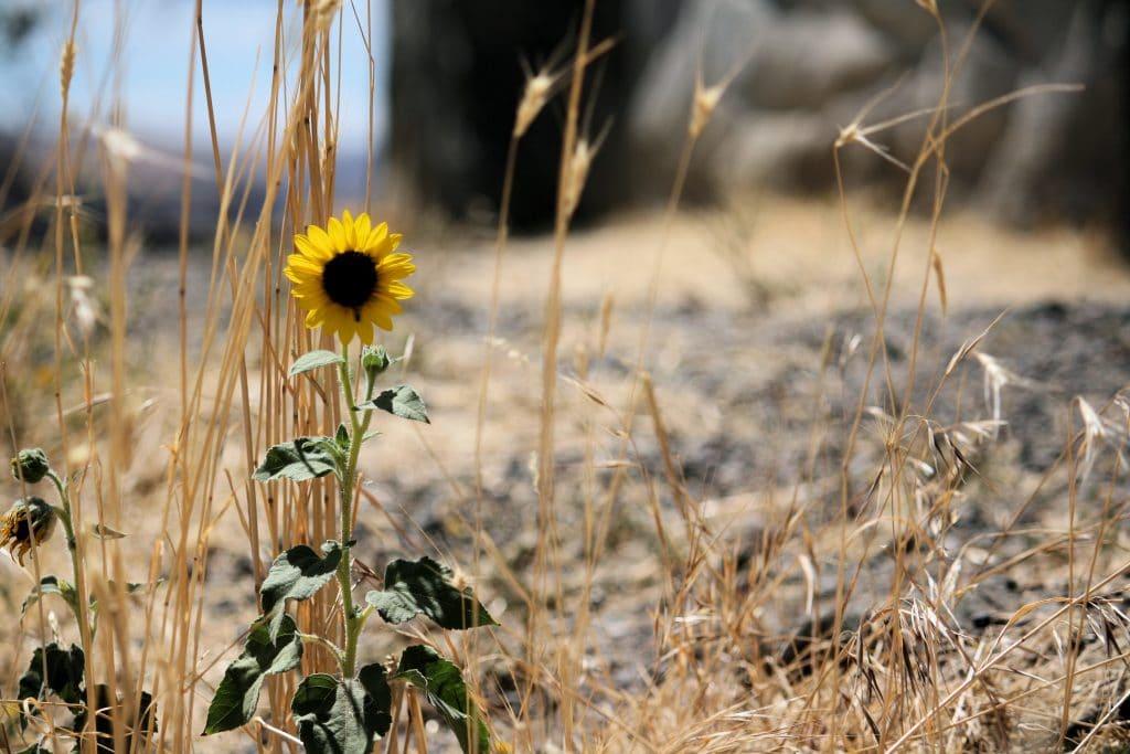 Imagem de um girassol que nasceu no meio de um deserto árido e seco.