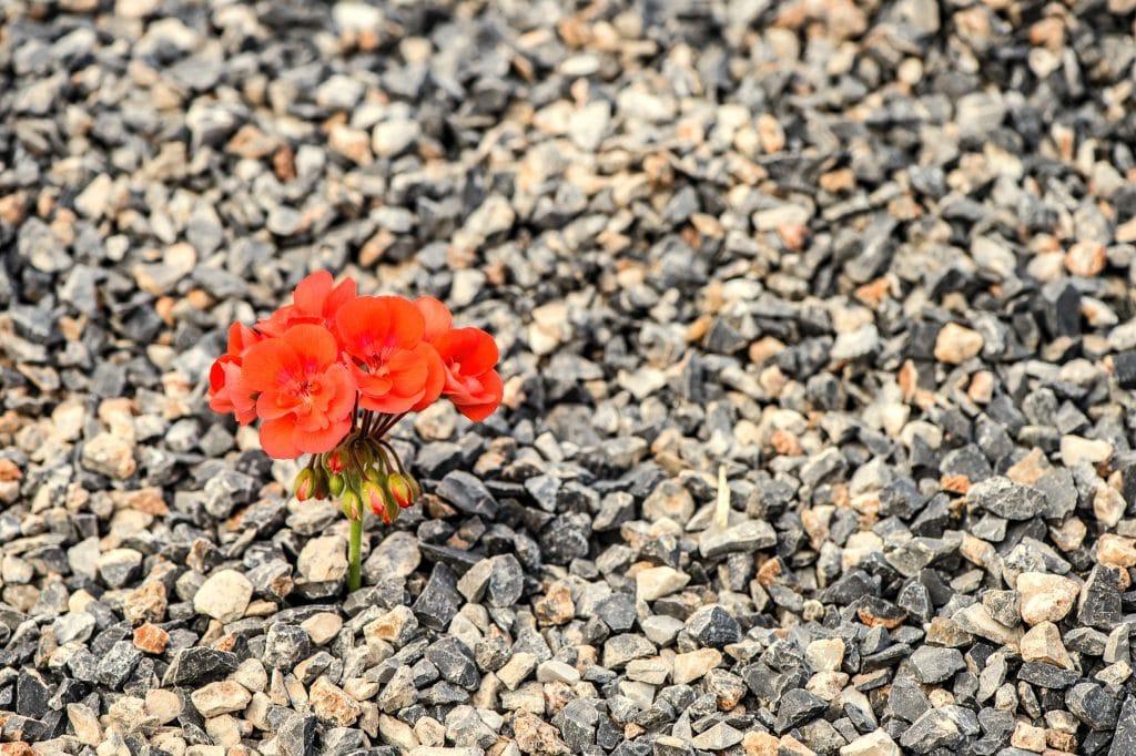 Imagem de uma flor alaranjada que brotou sozinha no meio de vários pedregulhos.