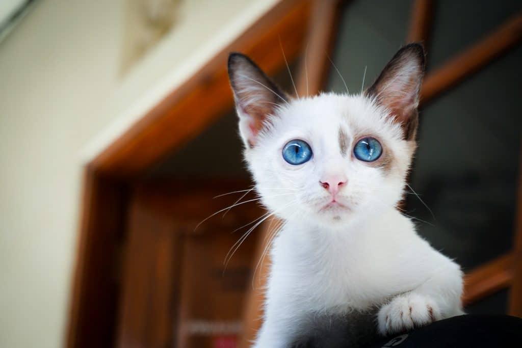 Gato branco de olhos azuis e orelhas marrom. Ele está próximo à uma janela de madeira marrom observando algo que deve estar próximo à ele.