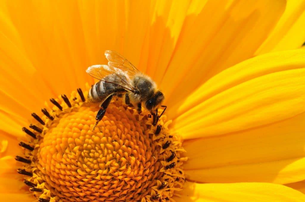 Imagem de uma abelha extraindo o néctar de uma flor-amarela.