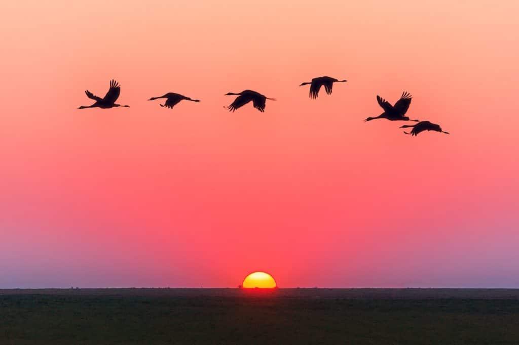 Pássaros voando enfileirados, em linha reta, ao pôr do sol.