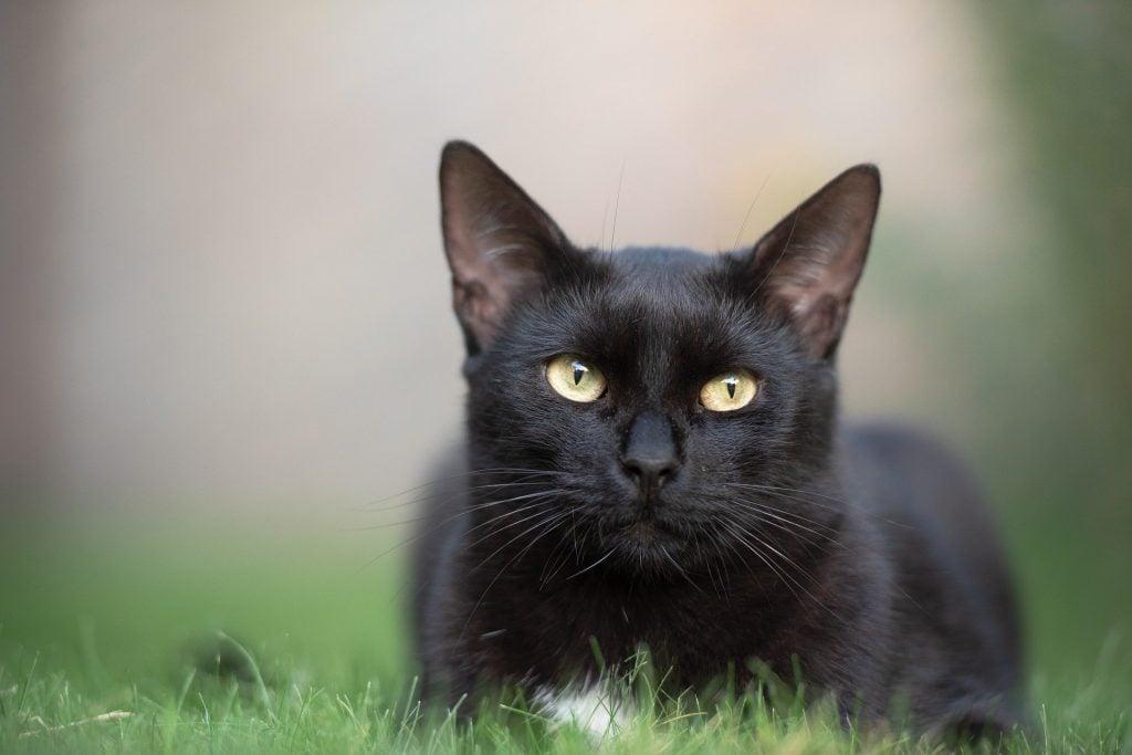 Gato preto adulto deitado sobre uma grama verdinha, observando algo.