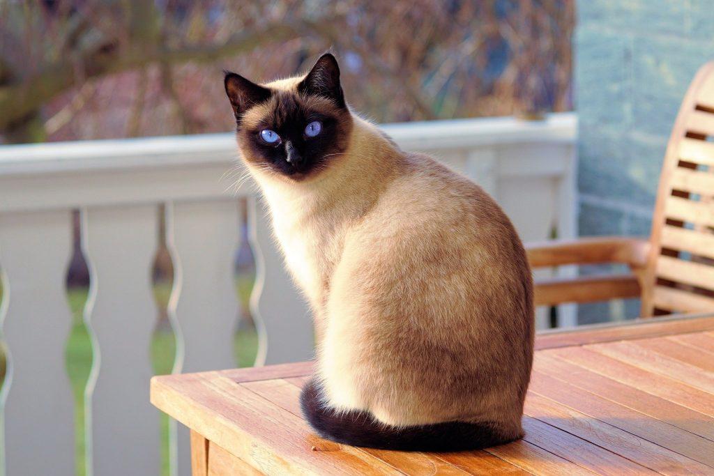 Gato adulto siamês com olhos azuis. Ele está sentado sobre um banco de madeira na cor clara.