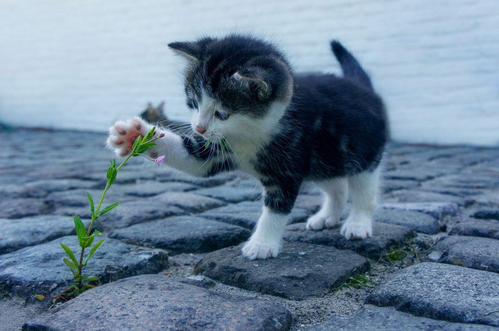 Gato filhote nas cores preto e branco brincando com uma florzinha em uma rua de paralelepípedo.