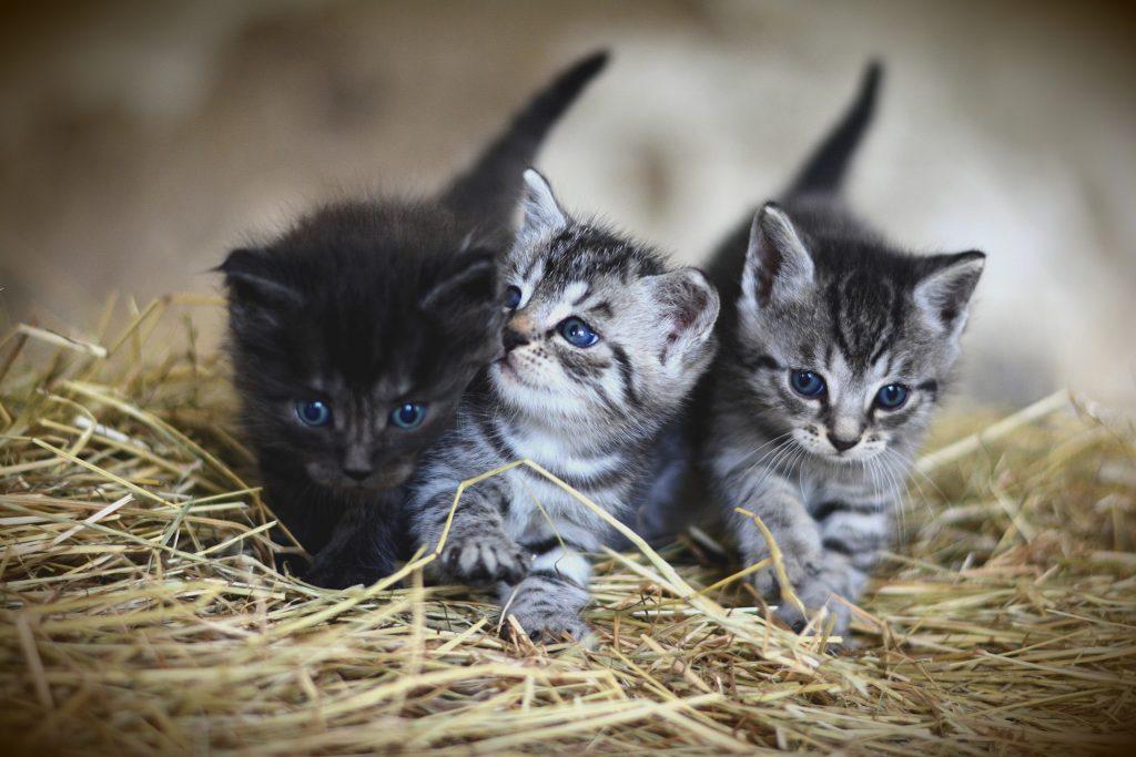 Três filhotes de gatinhos, sendo um preto e dois rajados nas cores: preto, cinza e branco. O trio tem olhos azuis e estão deitados sobre o capim.