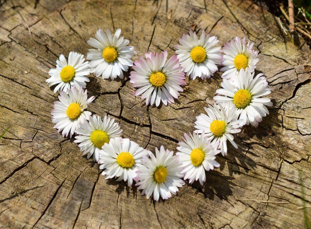 Imagem de um coração desenhado com flores de margaridas brancas e miolo amarelo. Ele está disposto sobre um tronco de árvore.