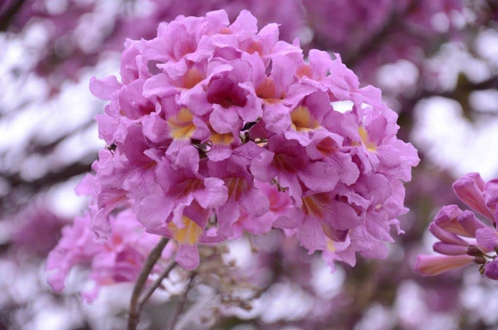 Imagem da flor do ipê roxo.