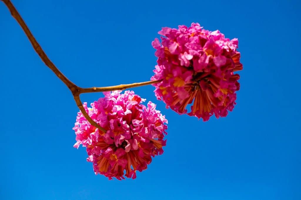 Galho com dois buquês de flores de ipê roxo.