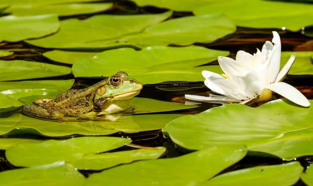 Imagem de um sapo deitado sobre uma folhagem dentro do lago. Ao lado uma flor branca ilustra o ambiente no centro das folhagens esverdeadas.