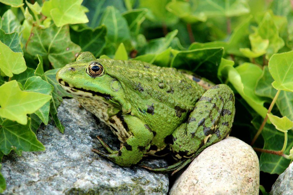 Sapo grande sobre uma pedra cercado de folhagem verde. Ele está pronto para pular.