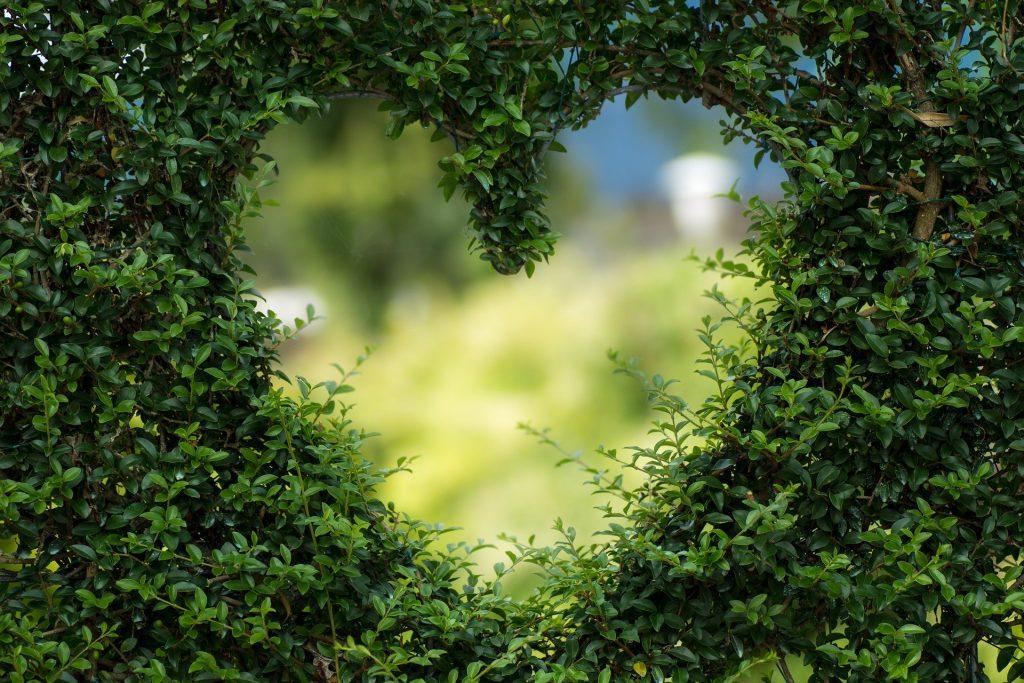 Imagem de um coração desenhado e moldado em um arbusto de árvore bem verdinho.