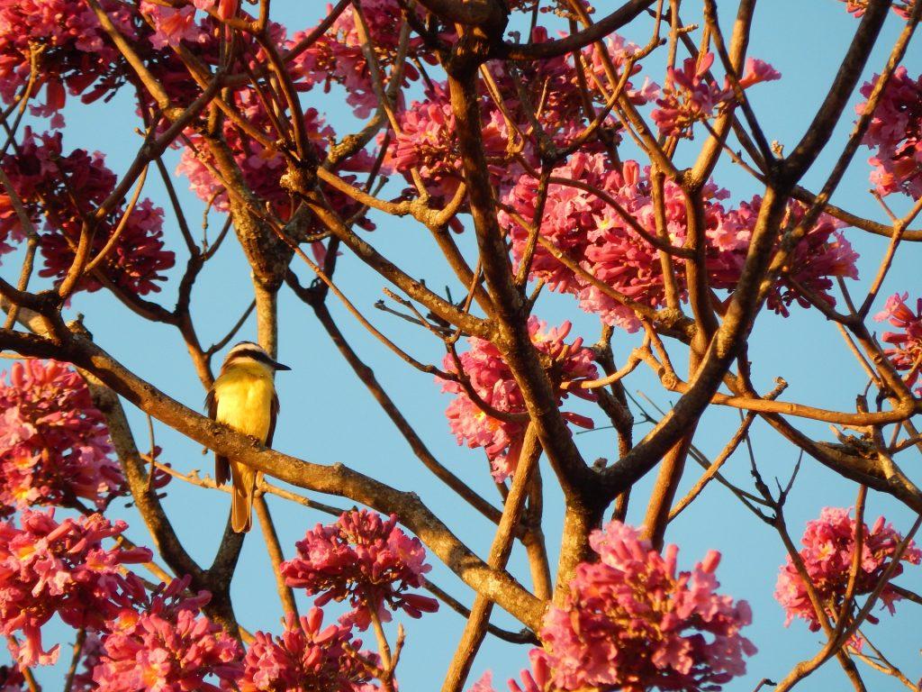 Imagem de uma árvore de ipê roxo. Vários galhos floridos compõem a imagem e em um deles um passarinho sentado.