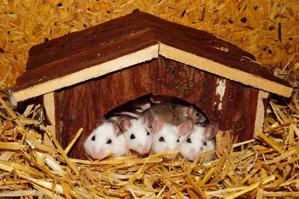 Ninho de ratos sobre uma cama de serragem.